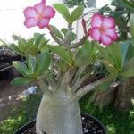 Adenium arabicum (Desert Rose)