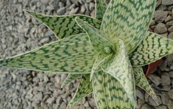 Aloe rauhii 'Demi'