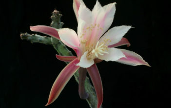 Cereus spegazzinii (Moonlight Cactus)