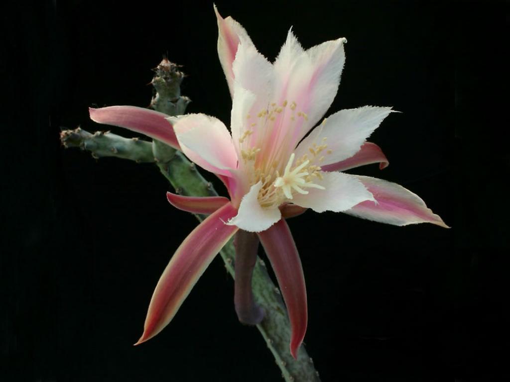 Cereus spegazzinii (Moonlight Cactus)