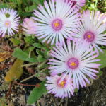 Cleretum bellidiforme (Livingstone Daisy)