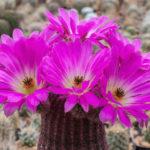 Echinocereus rigidissimus subsp. rubispinus (Rainbow Hedgehog Cactus)
