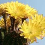 Echinopsis 'Jealousy'