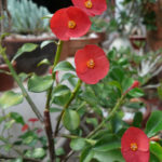 Euphorbia geroldii (Thornless Crown of Thorns)