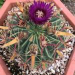 Ferocactus latispinus (Devil's Tongue Barrel Cactus)