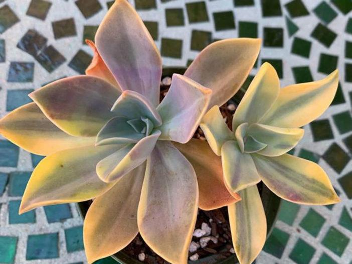 Graptoveria 'Fred Ives' f. variegata