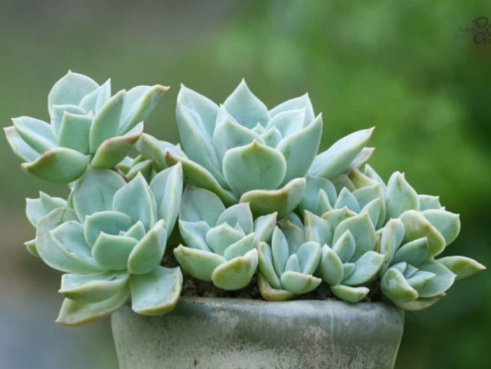 Graptoveria 'Harry Watson'