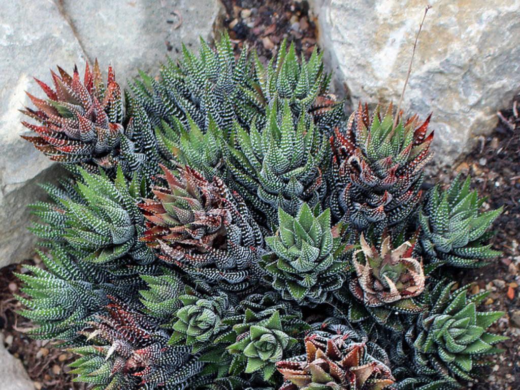 Grow and Care Haworthiopsis (Haworthiopsis coarctata)