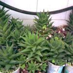 Haworthiopsis tortuosa aka Haworthia tortuosa