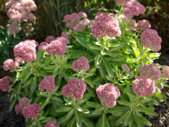 Hylotelephium 'Autumn Delight' aka Hylotelephium 'Beka' (Sedum 'Autumn Delight' aka Sedum 'Beka')