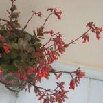 Kalanchoe 'Tessa' (Pendent Flowered Kalanchoe)