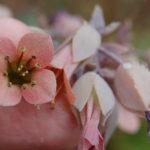 Kalanchoe rosei