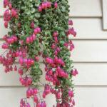Kalanchoe uniflora (Coral Bells)
