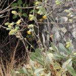 Kleinia chimanimaniensis