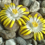 Lithops comptonii (Living Stones)