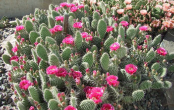 Opuntia polyacantha (Plains Prickly Pear)