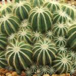 Parodia magnifica (Balloon Cactus) aka Notocactus magnificus or Eriocactus magnificus