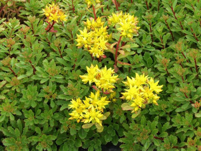 Phedimus kamtschaticum var. floriferum