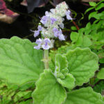 Plectranthus hadiensis var. tomentosus (Vicks Plant) aka Plectranthus tomentosus or Plectranthus tomentosa