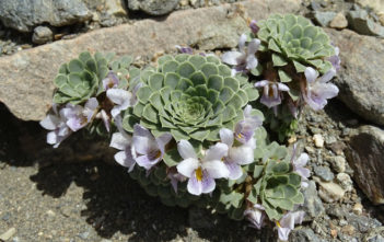 Rosulate Violas