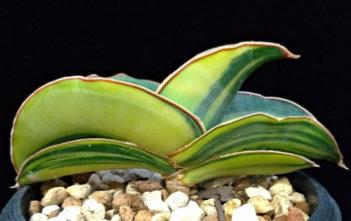 Sansevieria ehrenbergii 'Banana' f. variegata
