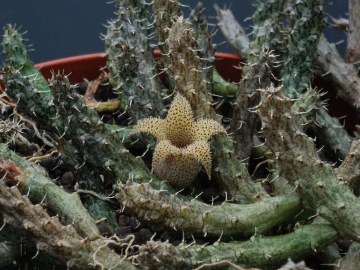 Stapelianthus decaryi