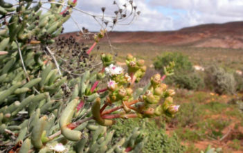 Stoeberia frutescens