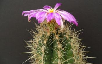 Thelocactus bicolor (Glory of Texas)