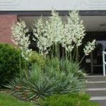 Yucca filamentosa (Adam's Needle)
