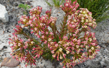 Crassula fascicularis (Fragrant Crassula)