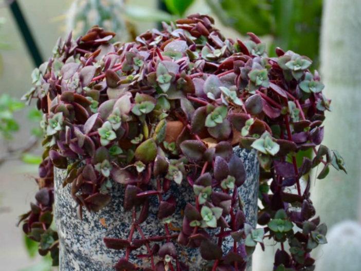 Crassula pellucida subsp. marginalis f. rubra