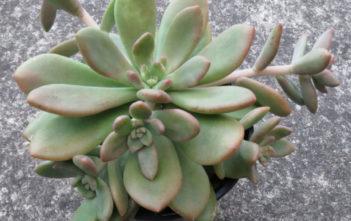 Cremneria 'Mutabilis'