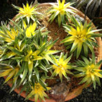 Dyckia brevifolia 'Yellow Glow'