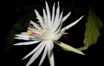 Epiphyllum hookeri subsp. guatemalense