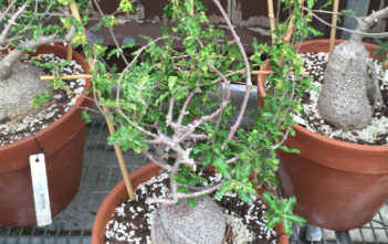 Fockea capensis aka Fockea crispa