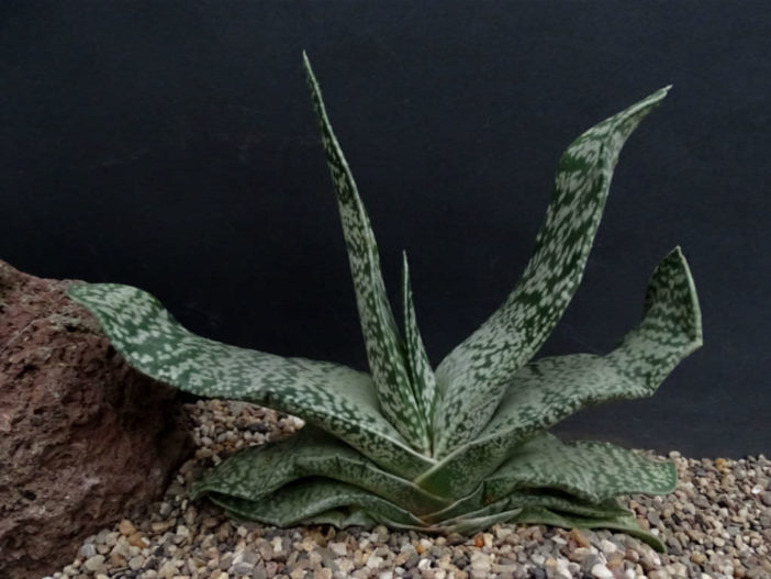 Gasteria disticha (Great Karoo Ox-tongue)