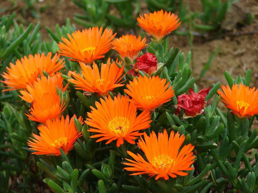Lampranthus Aurantiacus Orange Ice Plant World Of