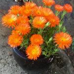 Lampranthus aurantiacus (Orange Ice Plant)