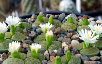Lithops lesliei 'Albinica'