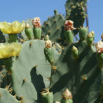 Opuntia stricta (Erect Prickly Pear)