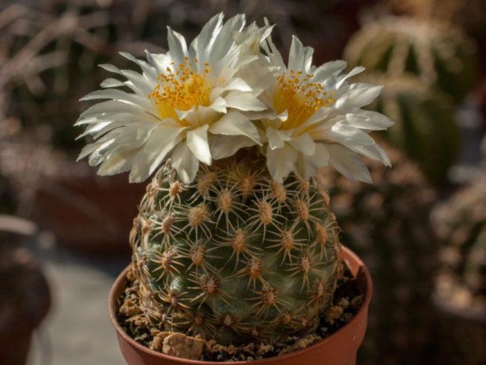 Pediocactus bradyi (Brady's Pincushion Cactus)