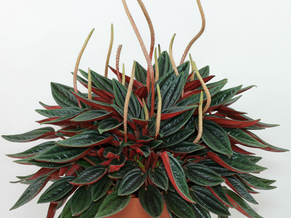 Peperomia 'Rosso' | World of Succulents