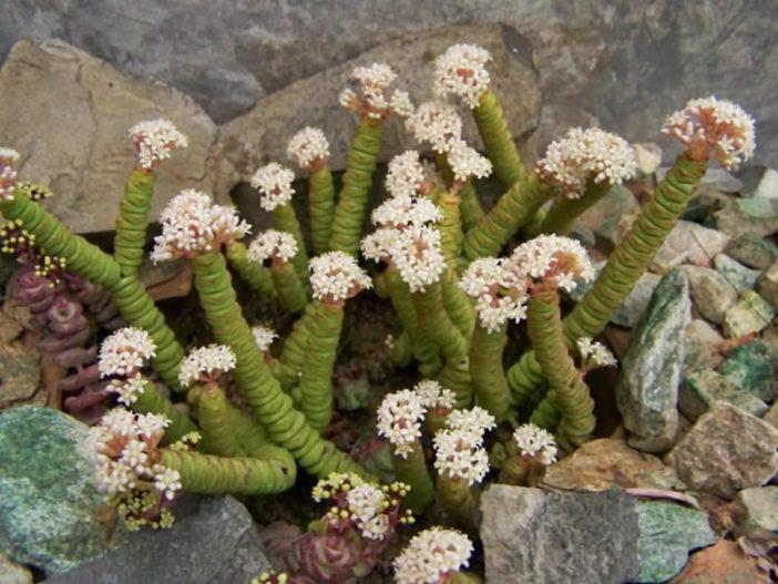 String Succulents (Crassula rupestris subsp. marnieriana aka Crassula marnierana)