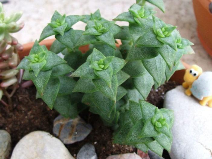 String Succulents (Crassula perforata)