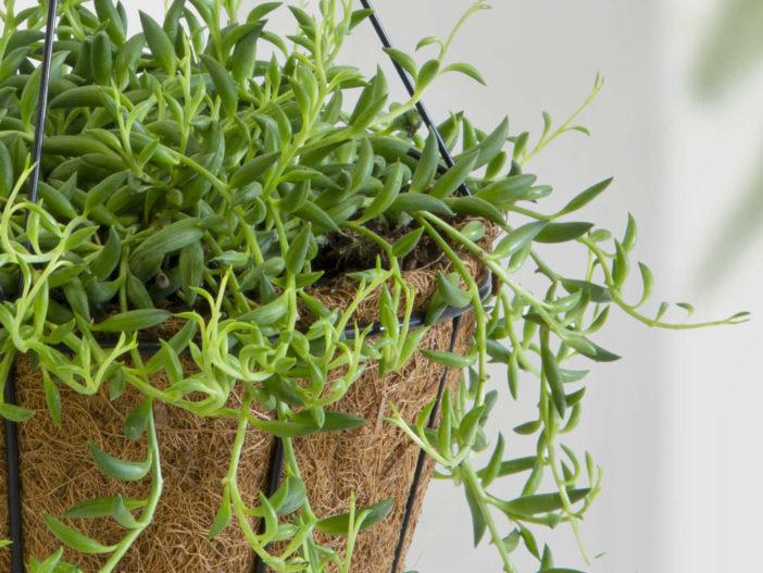 String Succulents (Curio radicans aka Senecio radicans)