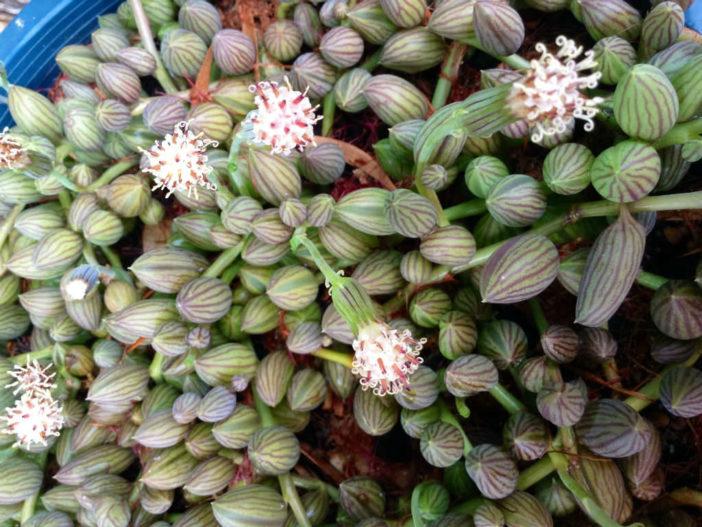 String Succulents (Curio herreanus aka Senecio herreanus or Senecio herreianus)