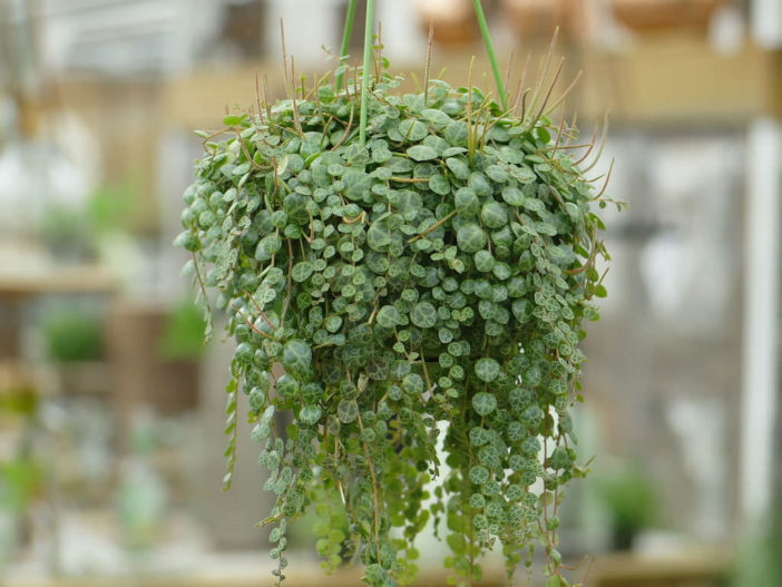 String Succulents (Peperomia prostrata)