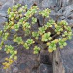 Aeonium lindleyi subsp. viscatum aka Aeonium viscatum