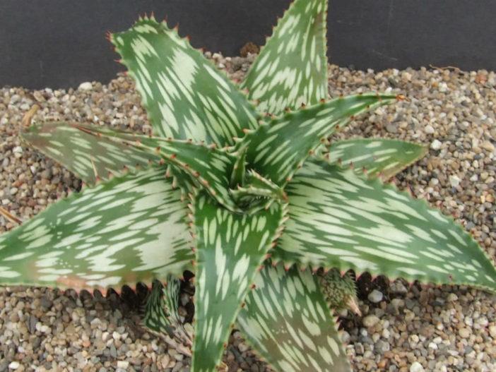 Aloe hemmingii (Mosaic Aloe)