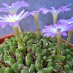 Conophytum tantillum